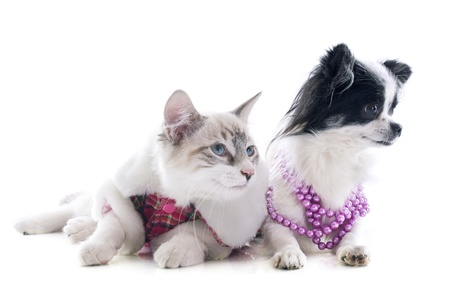 birman kitten: birman kitten and chihuahua in front of white background