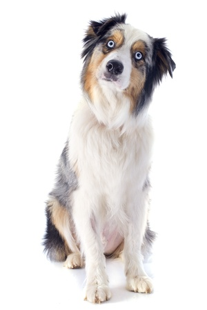 australian shepherd: purebred australian shepherd  in front of white background