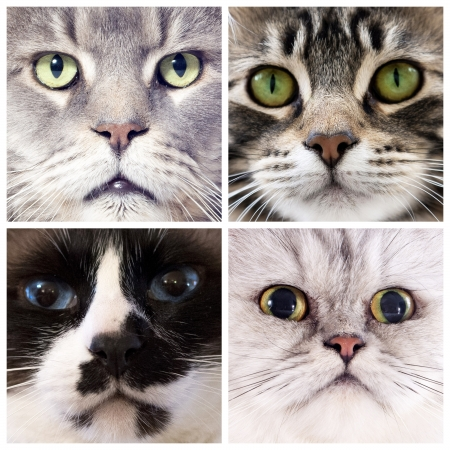 four portrait of purebred cats  in studio photo
