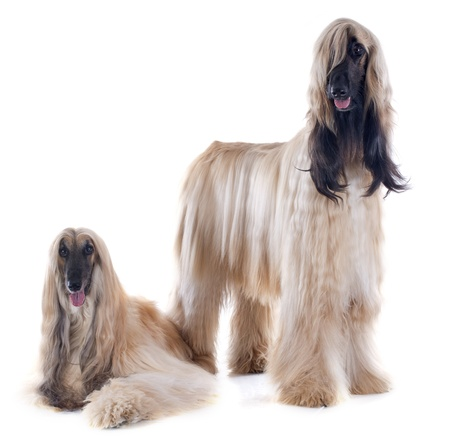 afghan: afghan hounds in front of white background Stock Photo