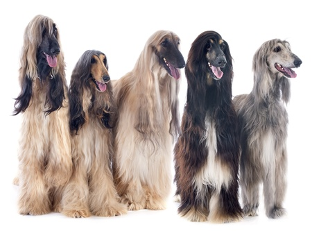 afghan hounds in front of white background Stok Fotoğraf