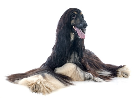 afghan hound in front of white background photo