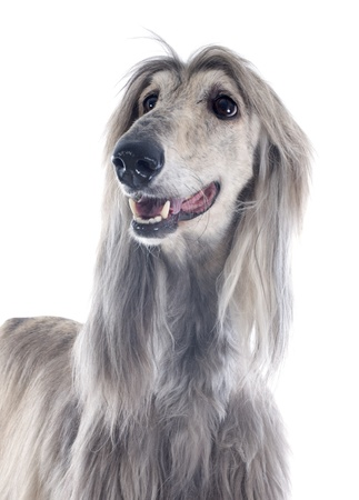 afghan: afghan hound in front of white background Stock Photo