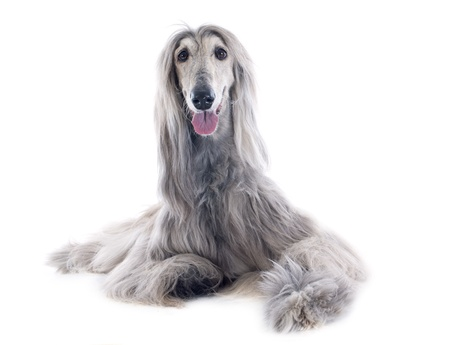 afghan hound in front of white background Stock Photo