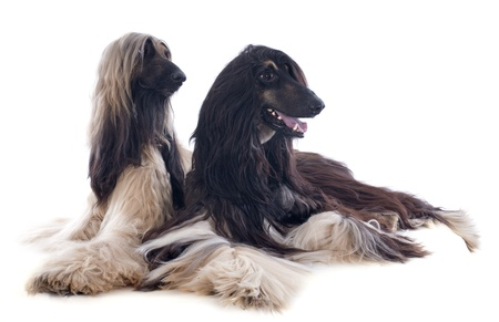 afghan hounds in front of white background photo