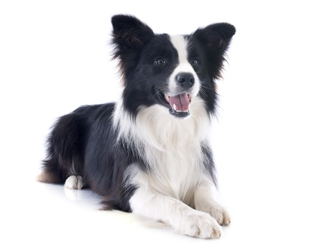 border collie: portrait of purebred border collie in front of white background