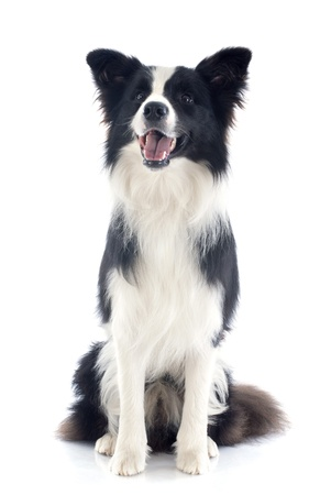 sheepdog: portrait of purebred border collie in front of white background