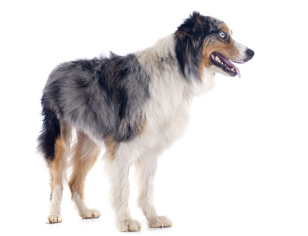 purebred australian shepherd  in front of white background photo