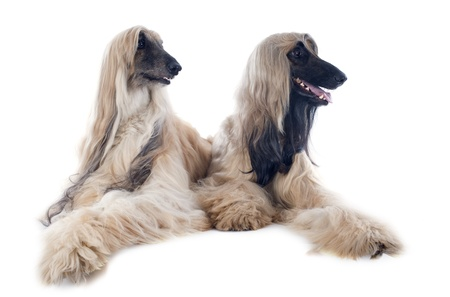 hounds: afghan hounds in front of white background Stock Photo