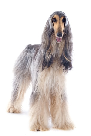 afghan hound in front of white background 版權商用圖片