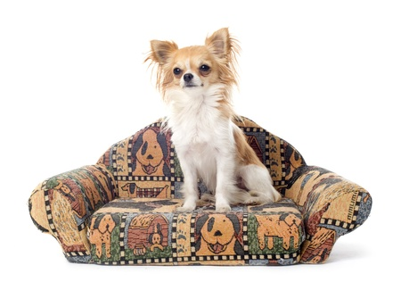 cute chihuahua on a sofa in front of white background Stock Photo - 21785401