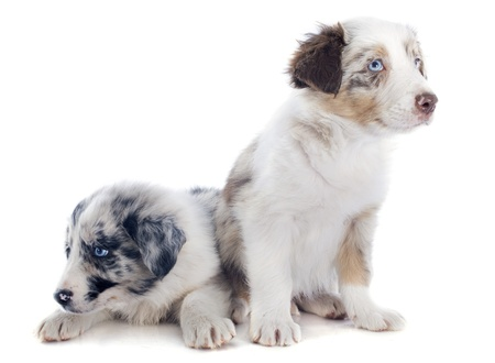 collies: portrait of puppy border collies in front of white background Stock Photo