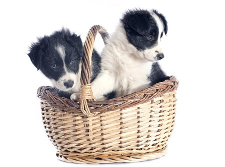 portrait of puppies border collie in a basket in front of white background photo
