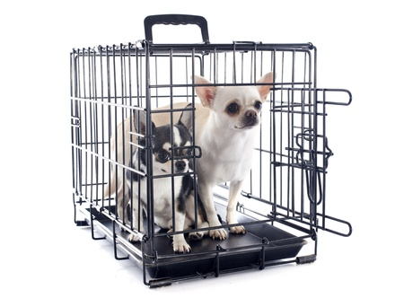 kennel: chihuahuas closed inside pet carrier isolated on white background