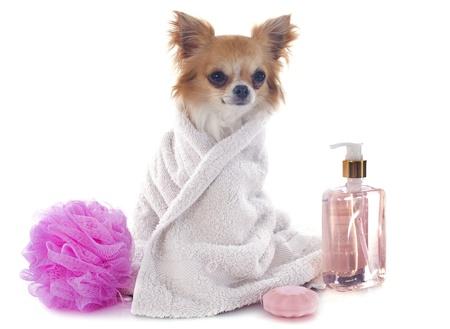 cane chihuahua: chihuahua di razza dopo il bagno di fronte a sfondo bianco