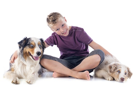 purebred australian shepherds and boy  in front of white background photo