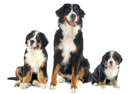 portrait of a purebred bernese mountain dogs in front of white background photo