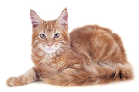 portrait of a purebred  maine coon kitten, four month old, on a white background photo
