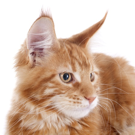 portrait of a purebred  maine coon kitten, four month old, on a white background Stock Photo - 21965783
