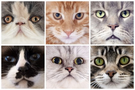 six portrait of purebred cats  in studio photo