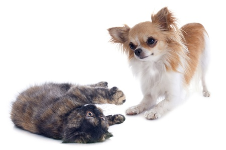 Exotic Shorthair kitten playing with a chihuahua in front of white background photo