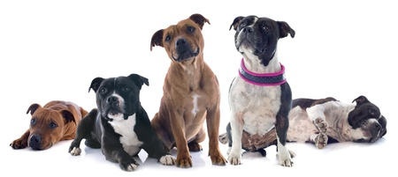 portrait of five staffordshire bull terrier in front of white background Stock Photo