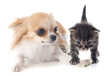 portrait of a cute purebred  chihuahua and kitten in front of white background Stock Photo - 21998328