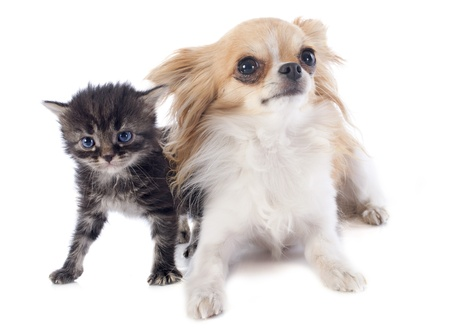 portrait of a cute purebred  chihuahua and kitten in front of white background Stock Photo - 21998336