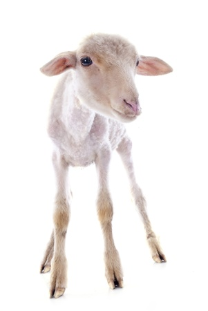 young lamb in front of white background Stock Photo - 21998342