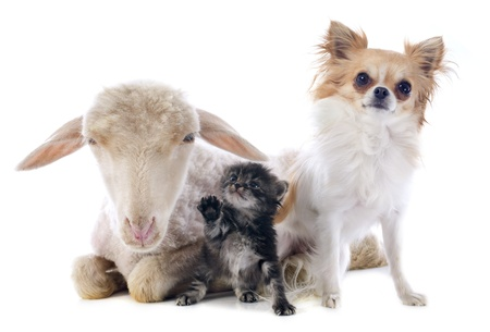young lamb, kitten and chihuahua in front of white background Stock Photo - 21998347