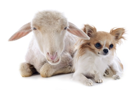 sheep dog: young lamb and chihuahua in front of white background
