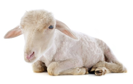 young lamb in front of white background Stock Photo - 21998356
