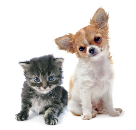 portrait of a cute purebred  puppy chihuahua and tabby cat in front of white background Stock Photo - 22087090
