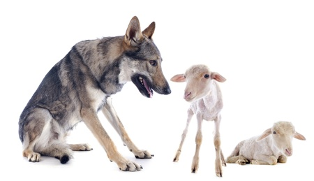 wolf and lambs in front of a white background Stock Photo - 22087025