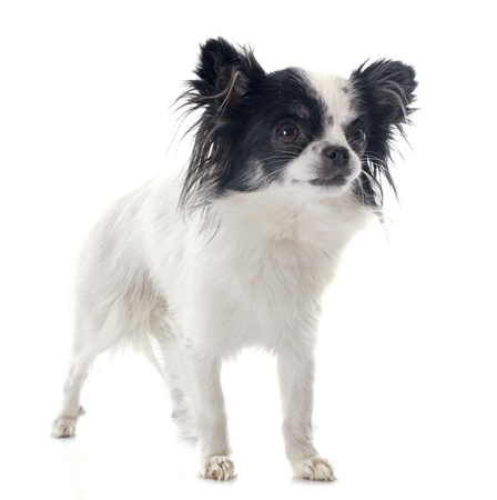 portrait of a cute purebred  chihuahua in front of white background Stock Photo - 22087026