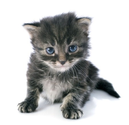 young grey kitten in front of white background Stock Photo - 22087027