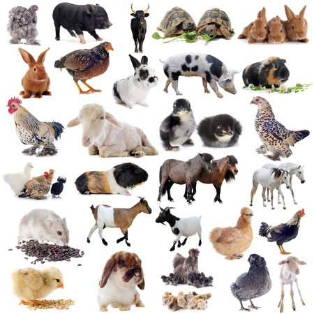 animales granja: animales de granja en frente de fondo blanco Foto de archivo