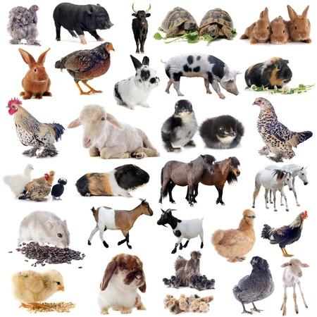 cavie: animali da fattoria di fronte a sfondo bianco