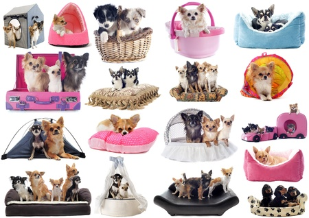 little dogs in dog bed in front of white background photo