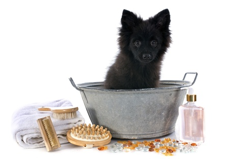puppy german spitz in a bathtub in front of white background Stock Photo - 22087031