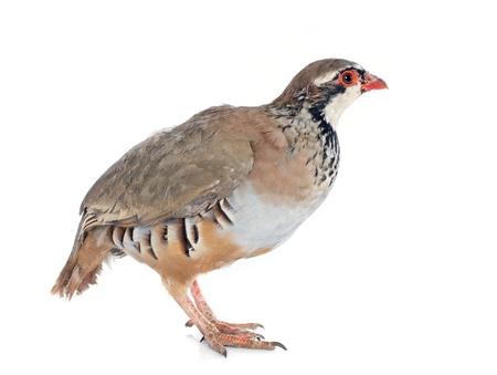kuropatwa: Czerwony nogami lub francuski Partridge, Alectoris rufa przed białym tle