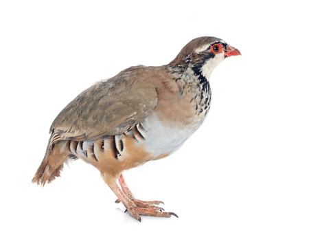 gamebird: Red-legged or French Partridge, Alectoris rufa in front of white background Stock Photo