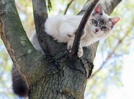 birman kitten: birman kitten is perching on a trunk