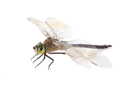 hawker dragonfly in front of white background Stock Photo - 22087003
