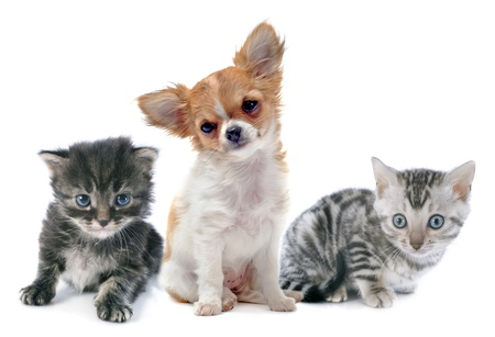 portrait of a cute purebred  puppy chihuahua and kitten in front of white background Stock Photo - 22104083