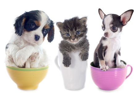 kitten and puppies in teacup in front of white background photo