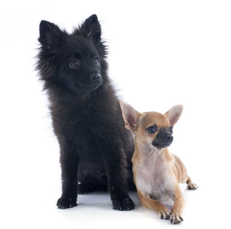 portrait of puppies chihuahua and spitz in front of white background Stock Photo - 22104100