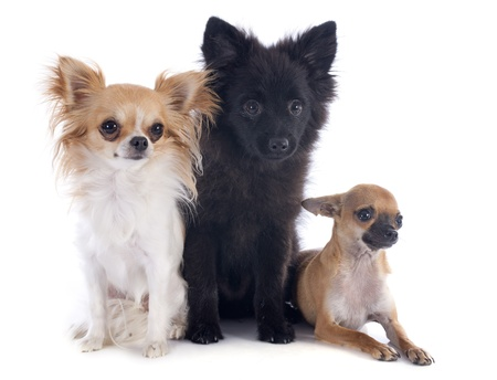 three little dogs in front of white background Stock Photo - 22104106