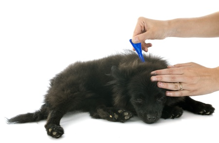tick and flea prevention on a little spitz in studio photo