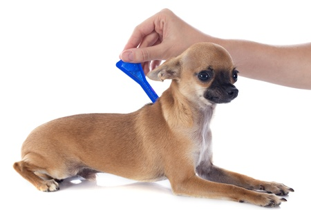 pipette: tick and flea prevention on a little chihuahua in studio